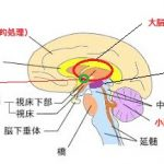 福井大学が、ADHDの脳構造の特徴を人工知能(AI)により解明し、遺伝子多型の影響を発見